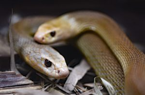 Two Inland Taipan Snakes